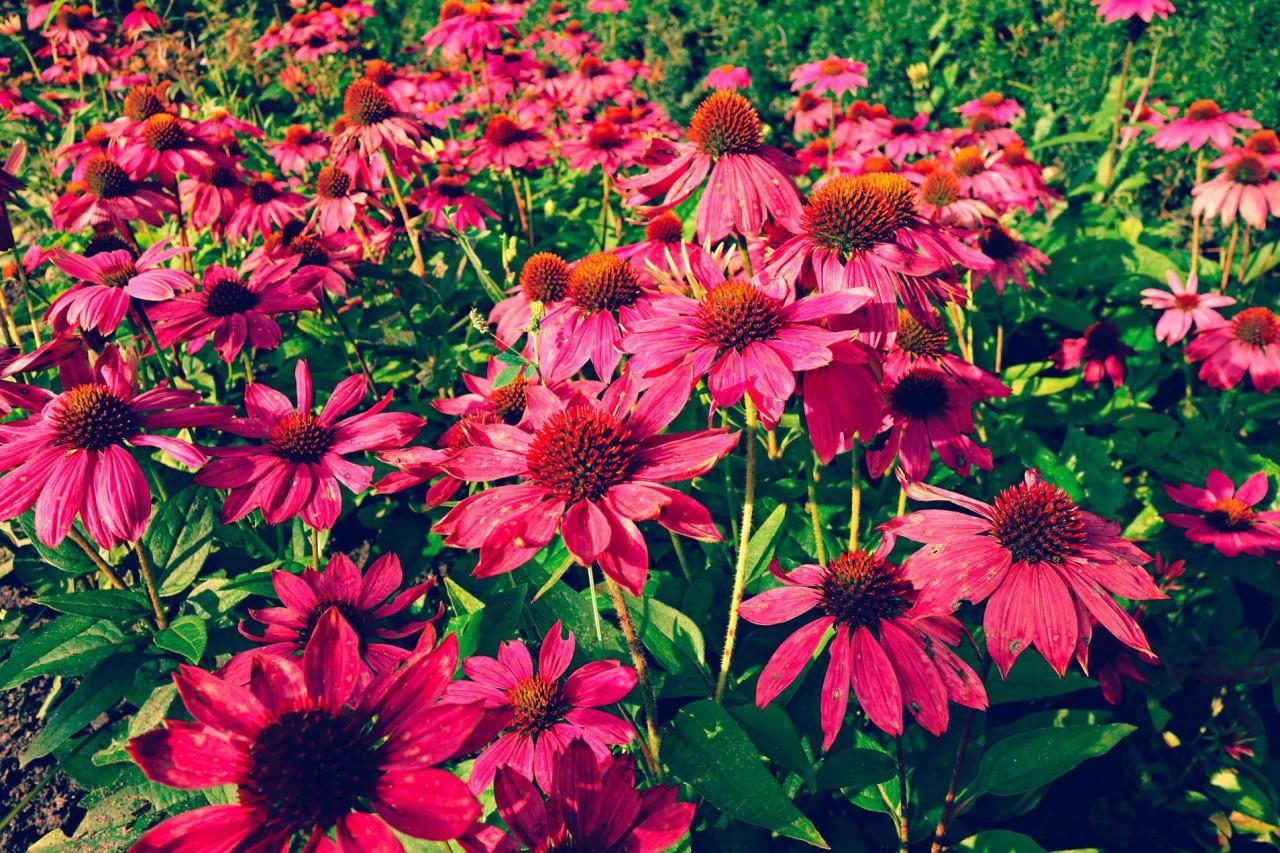 Echinacea-Feld
