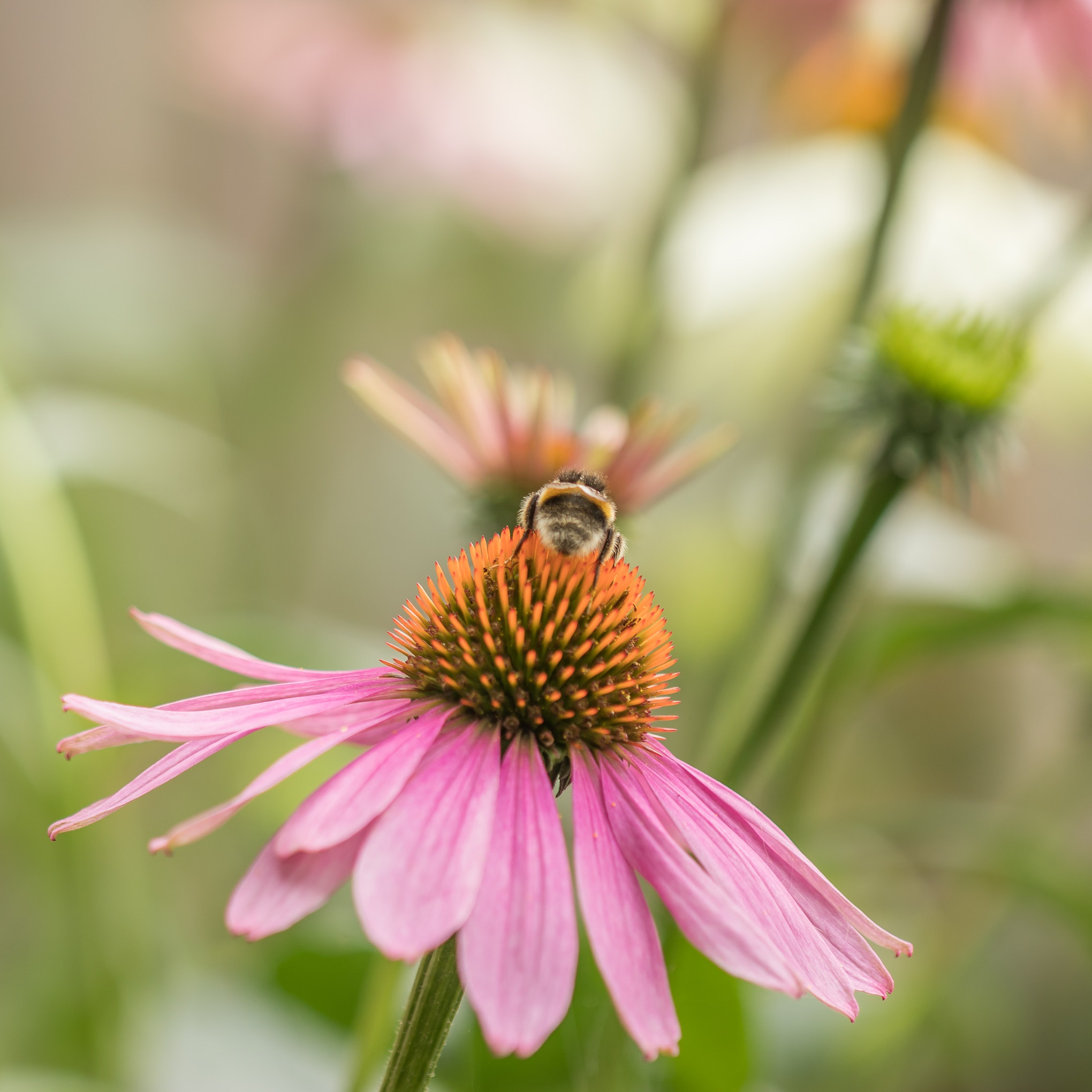 Echinacea – Wundermittel oder Wunschvorstellung